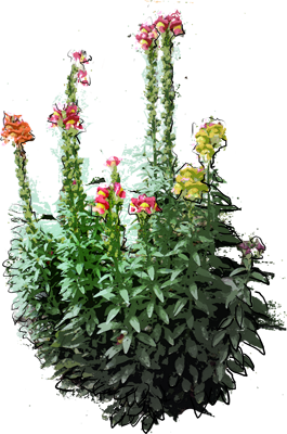 Common Snapdragon